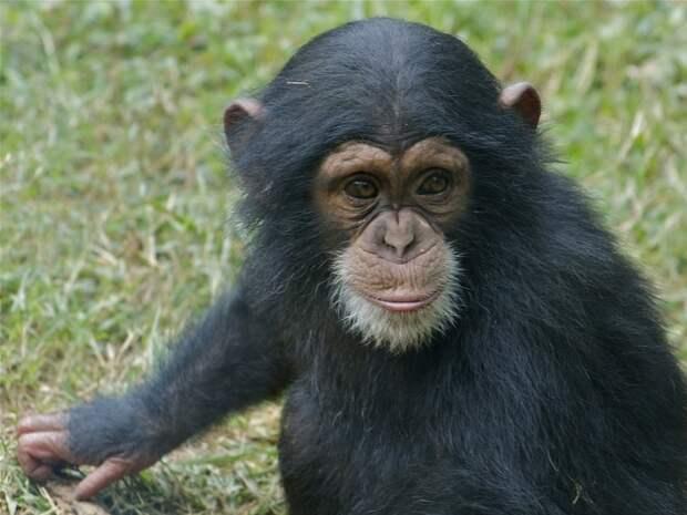 Кости шимпанзе, которую заставляли жить, как человек, доказали врожденность искривления фаланг у обезьян