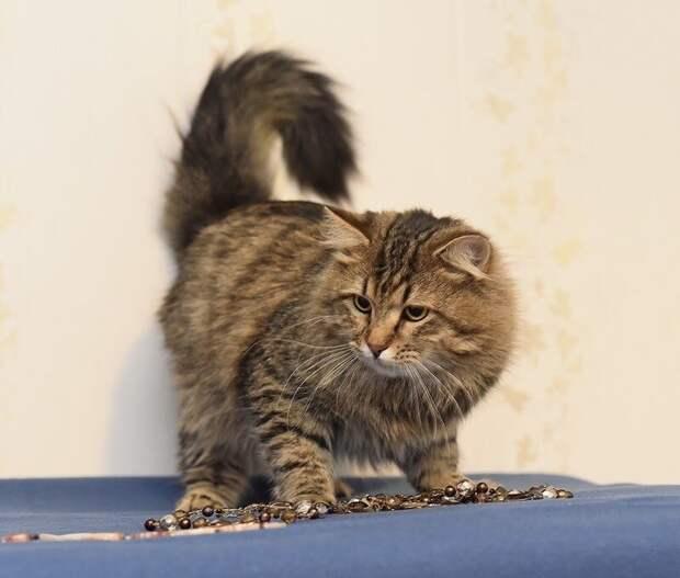 Фото сибирского кота