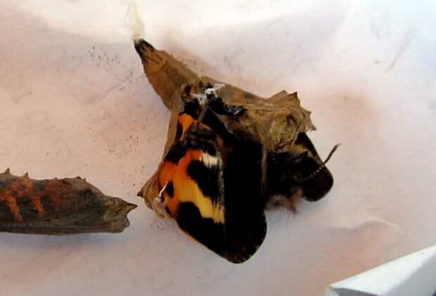 Выведение бабочек-крапивниц животные, своими руками, сделай сам