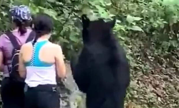Черный медведь вышел к туристке, но она не обратила на него внимания