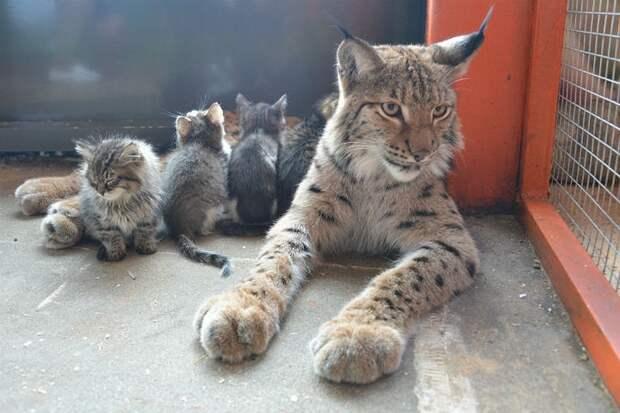 Дикая кошка так любит детенышей, что даже боится их невзначай поцарапать. Фото: предоставлено зоопарком.