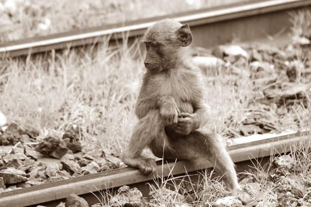 Как обезьяна, которая любила бренди, 10 лет работала на железной дороге за еду и выпивку