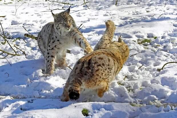 Как зимует рысь: 6 интересных фактов из жизни хищника с кисточками