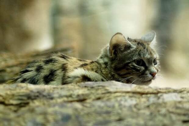 26 потрясающих пород кошек на грани исчезновения 2
