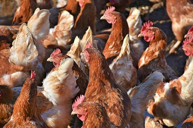 Глава Роспотребнадзора предупредила о вероятности эпидемии нового птичьего гриппа