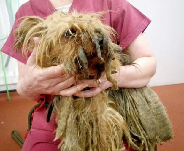 Хозяину, который 13 лет не расчёсывал йорка, навсегда запретили держать животных