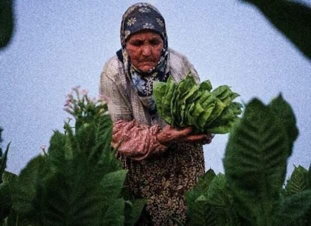 Сегодня производители табака в Болгарии буквально нищенствуют, зарабатывая в лучшем случае 1-2 евро в день, причем это заработок на всю семью