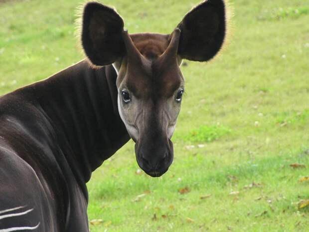 6 фото лесного жирафа, который выглядит как зебра