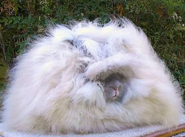 Ангорский кролик (фотография из открытых источников)