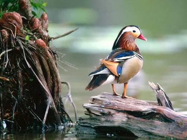 В брачный период селезень утки мандаринки окрашивается во все цвета радуги.