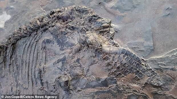 В Англии на побережье после шторма нашли окаменевший скелет ихтиозавра Палеонтология, Находка, Скелет, Ихтиозавр, Длиннопост