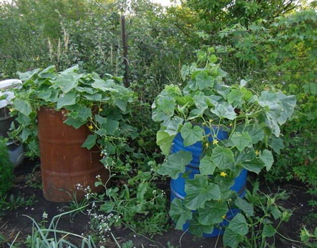 ВЫРАЩИВАНИЕ огурцов в бочке: плюсы и минусы :: Сад и огород …