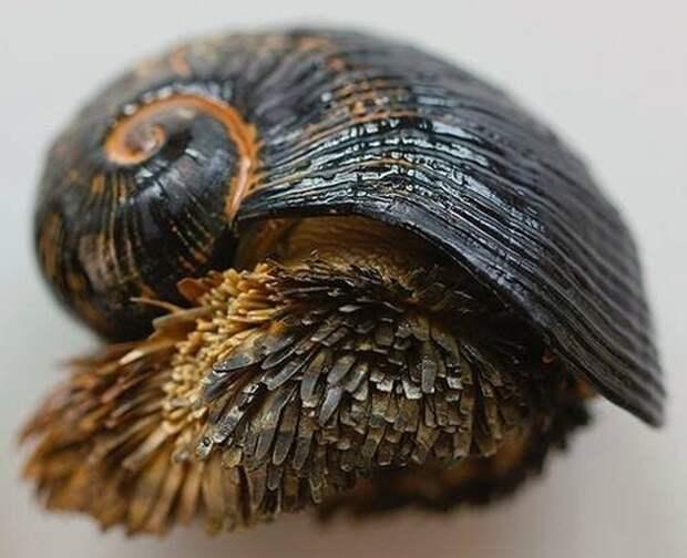 Единственная и неповторимая: улитка с шипами, раковина которой состоит из железа
