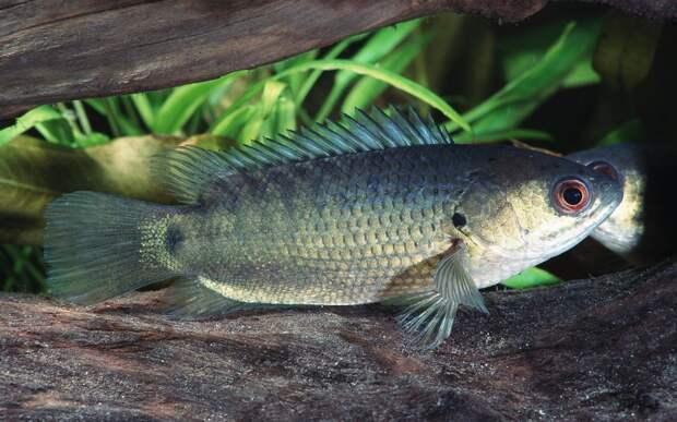 Китайские рыбы ушли из пруда пешком