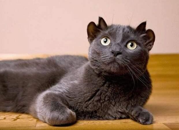 Йода – кот, у которого лишние уши