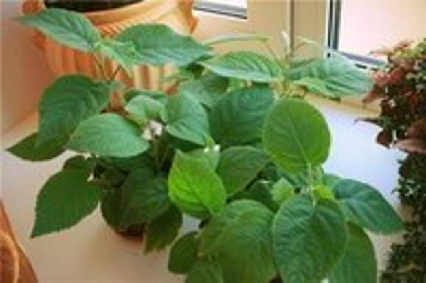 Выращиваем киви дома