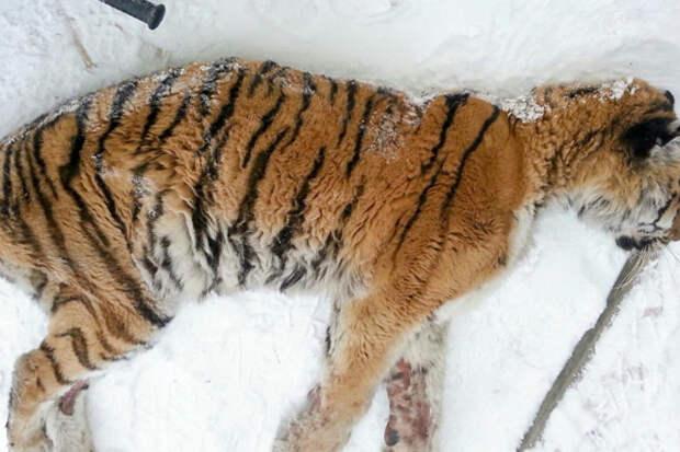 Измученная тигрица вышла к людям и попросила помощи