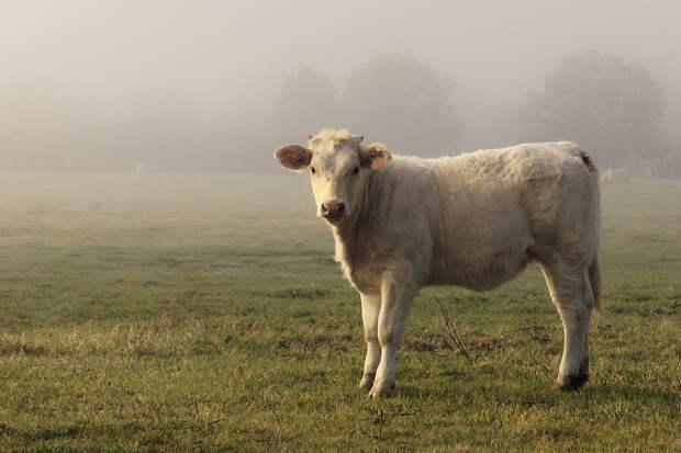 Полторы сотни мёртвых коров обнаружили в Тульской области