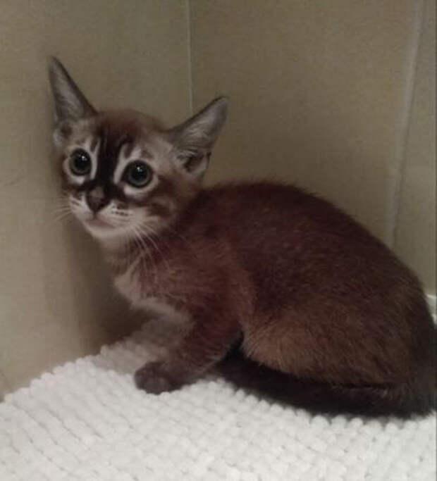 Абиссинский котёнок остался запертым в квартире на две недели, так-как девушка потеряла ключи от жилья