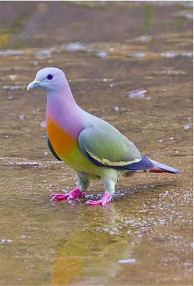 Вот такие голуби