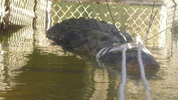 Гигантского крокодила в Австралии поймали спустя 8 лет