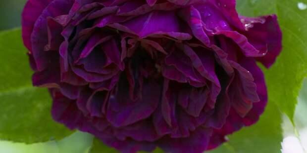 12 фактов о пионах, которые должен знать каждый любитель этих нежных цветов