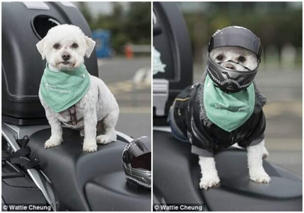 В конкурсе животных-байкеров числилось около 50 участников, но Милли затмила всех! животные, забавно, истории, мотоциклист, мотоциклы, питомцы, собака, собаки
