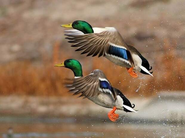 Обыкновенная кряква – крупная речная утка, ареол распространения Евразия и Северная Америка.