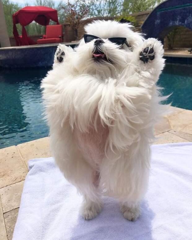 Знакомьтесь с Коко, очаровательной собачкой, которая любит поднимать передние лапки