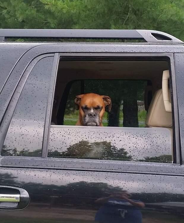 6. Он недоволен тем, что приходится уезжать из собачьего парка так рано боксеры, боксёры, домашние животные, смешные фото, смешные фотографии, собаки, собаки и хозяева, четвероногие питомцы