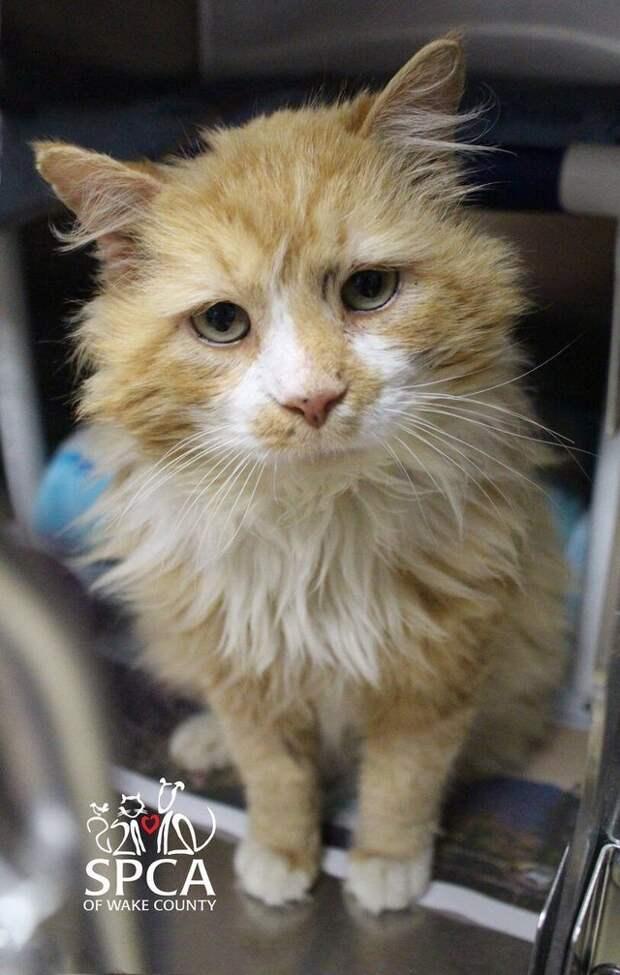 Кот прошел 19 километров до своего дома, но хозяева все равно отдали его в приют