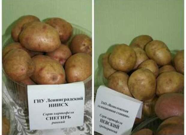 Какой картошке стресс не страшен
