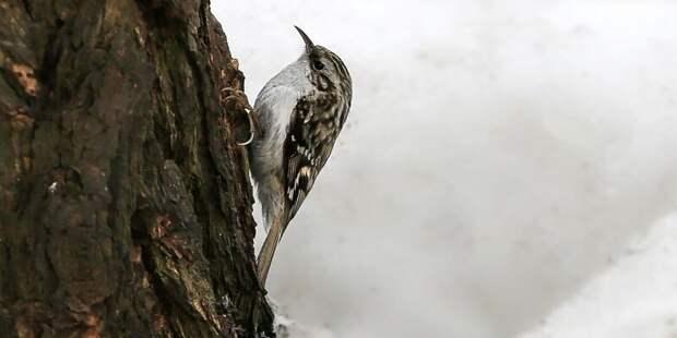 В парке «Москворецкий» поселились редкие птицы-древолазы