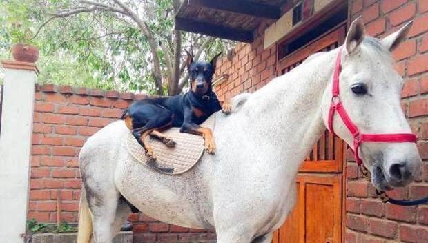 Лошадь и собака – лучшие друзья с первой встречи!