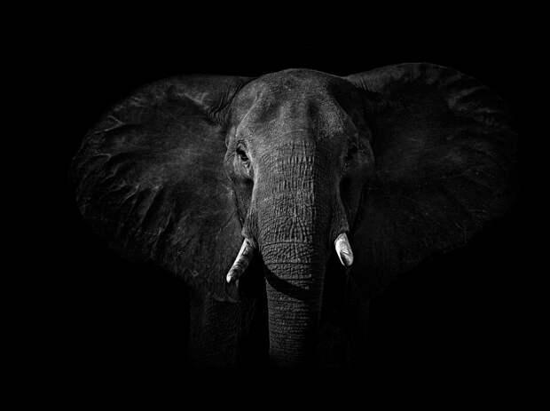 zhivotnye 2 Черно белые портреты диких животных