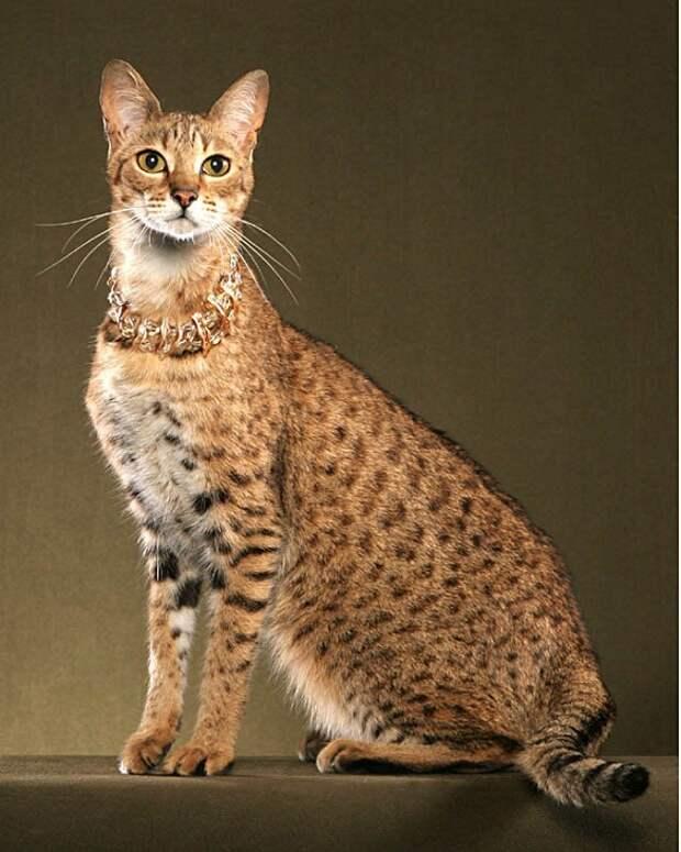 Саванна - самая дорогая порода кошек в мире. фото