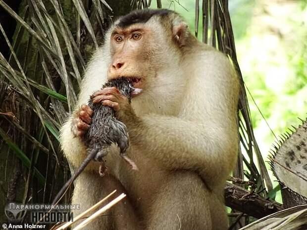 В Малайзии удивленные ученые обнаружили обезьян, массово поедающих крыс