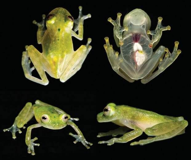 Новый вид прозрачных лягушек открыли в Эквадоре