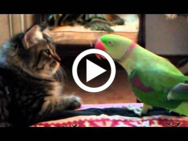 Попугай мяукает и пытается поговорить с котиком на его языке
