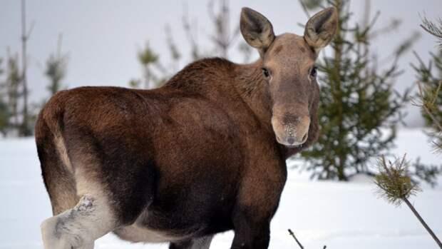 Браконьер заплатит более полумиллиона рублей за убийство лося в Саратовской области