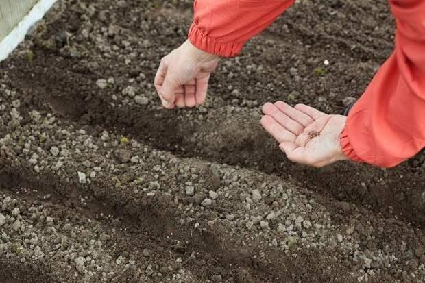 Выращивание осеннего редиса – получаем урожай без хлопот!