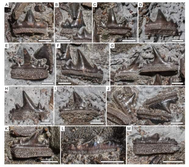 Неизвестную доисторическую акулу узнали по зубам