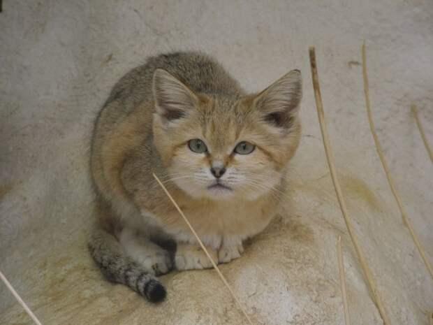 Барханная кошка (Felis margarita)