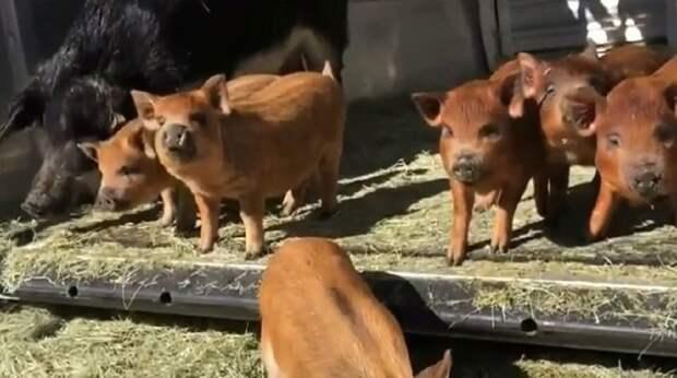Семья планировала съесть свинушку на Рождество, но живая находка заставила их изменить свое меню