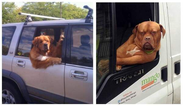 15 собак, которые умеют наслаждаться ездой на машине