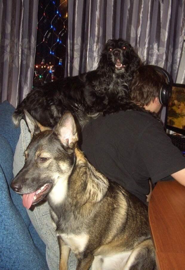 25 собак, которые решили побывать в кошачьей шкуре животные, кошки, позитив, собаки