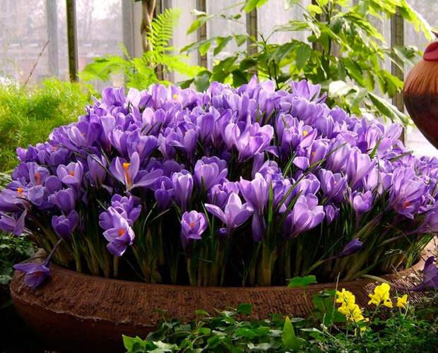 Многолетний садовый цветок Крокус (Crocus)