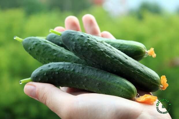 Семена с маркировкой F1: что это значит и стоит ли выращивать