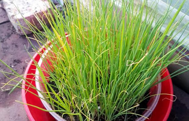 Лук порей когда сеять на рассаду и как выращивать?