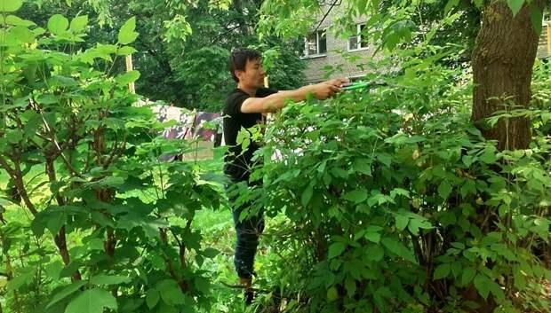 УК приступила к обрезке кустарника на Серпуховской улице в Климовске